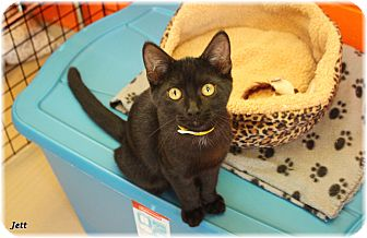 Domestic Shorthair Cat for adoption in Welland, Ontario - Jett