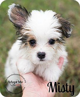 Shih Tzu/Chihuahua Mix Puppy for adoption in Virginia Beach, Virginia - Misty