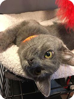 Domestic Shorthair Kitten for adoption in Hanna City, Illinois - Jack Tripper-adoption pending