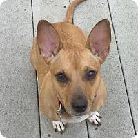 Adopt A Pet :: Mia - Flower Mound, TX