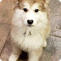 Adopt A Pet :: TILLEY - North Vancouver, BC