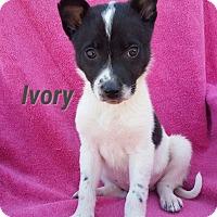Adopt A Pet :: Ivory - New Oxford, PA