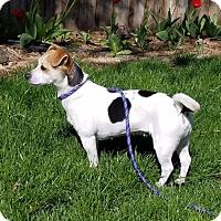 Adopt A Pet :: AMBER - Lynnwood, WA