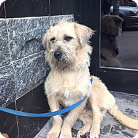 Terrier (Unknown Type, Medium) Mix Dog for adoption in Brooklyn, New York - Christian Grey