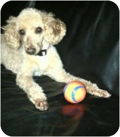 Poodle (Miniature) Dog for adoption in Fort Worth, Texas - DALLAS