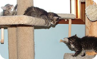 Domestic Mediumhair Kitten for adoption in Florence, Kentucky - Lizzie's Litter