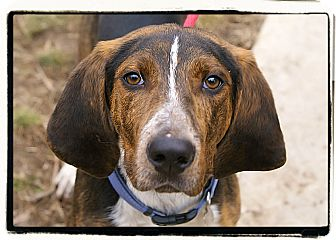 Hound (Unknown Type) Mix Puppy for adoption in Elmwood Park, New Jersey - Conrad