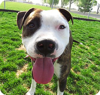 American Pit Bull Terrier Mix Puppy for adoption in Meridian, Idaho - Lincoln
