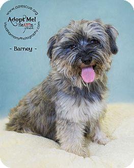 Schnauzer (Miniature) Mix Dog for adoption in Phoenix, Arizona - Barney