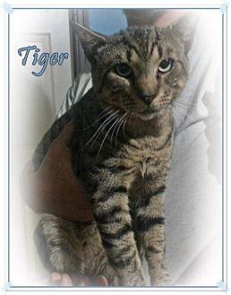 Domestic Mediumhair Cat for adoption in Orange City, Florida - Tiger