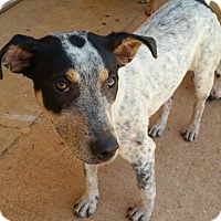 Australian Cattle Dog Mix Dog for adoption in Demorest, Georgia - Tootsie