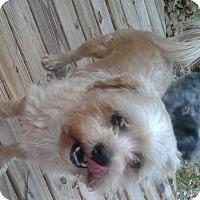 Yorkie, Yorkshire Terrier/Shih Tzu Mix Dog for adoption in Ft Myers, Florida - Zak