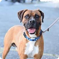 Adopt A Pet :: Cronus - Staten Island, NY