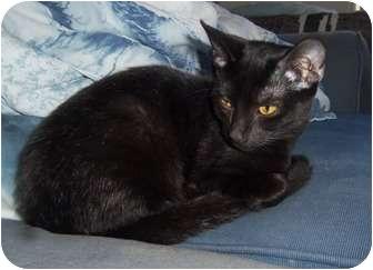 Domestic Shorthair Kitten for adoption in Orlando, Florida - Spirit a/k/a Ninja
