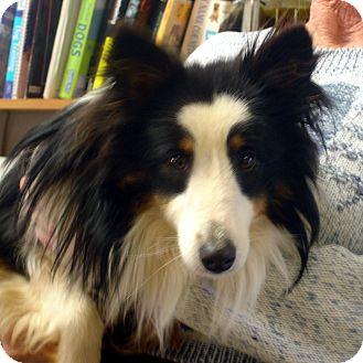 Sheltie, Shetland Sheepdog Dog for adoption in Greencastle, North Carolina - Maverick