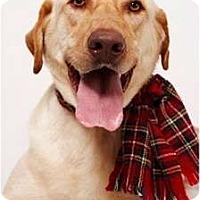 Adopt A Pet :: Ashton - New York, NY