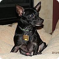 Adopt A Pet :: Bo - Commerce City, CO