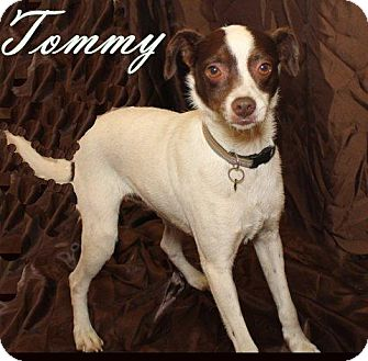 Terrier (Unknown Type, Medium) Mix Dog for adoption in Humble, Texas - TOMMY