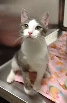 Domestic Shorthair Cat for adoption in Houston, Texas - Mila