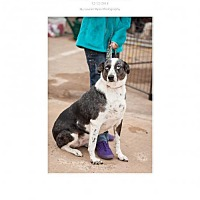 Australian Cattle Dog Mix Dog for adoption in Edmond, Oklahoma - JoJo