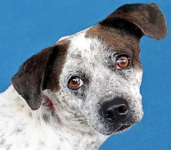 Australian Cattle Dog/Beagle Mix Dog for adoption in Renfrew, Pennsylvania - Oakley