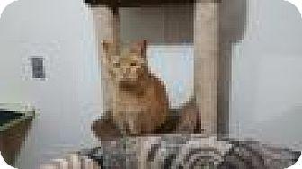 Domestic Shorthair Cat for adoption in Ashland, Ohio - Pumpkin