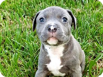 American Pit Bull Terrier Mix Puppy for adoption in Jacksonville, Florida - Peyton Manning
