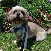 Lhasa Apso Mix Dog for adoption in Houston, Texas - Leo Worth