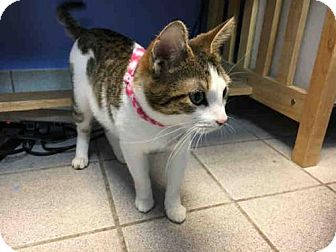 Domestic Mediumhair Cat for adoption in Canfield, Ohio - WILLOW