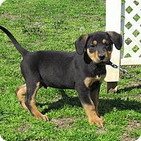 Adopt A Pet :: COOLEY - Bedminster, NJ