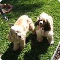 Adopt A Pet :: Cody & Dakota - Toluca Lake, CA