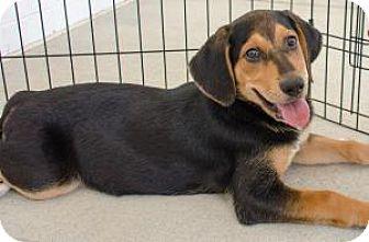 Shepherd (Unknown Type) Mix Puppy for adoption in Midlothian, Virginia - Otis