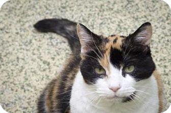 Calico Cat for adoption in Indianapolis, Indiana - Sadie