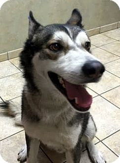 Husky Mix Dog for adoption in Las Vegas, Nevada - Vinnie