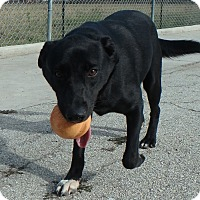 Labrador Retriever Mix Dog for adoption in Seguin, Texas - Godiva