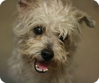 Terrier (Unknown Type, Small) Mix Dog for adoption in Canoga Park, California - Bucky