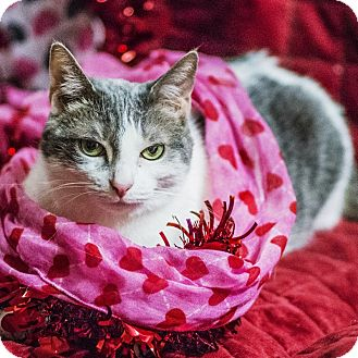 Domestic Shorthair Cat for adoption in Wheaton, Illinois - Pearl