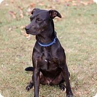 Labrador Retriever/Doberman Pinscher Mix Dog for adoption in Salem, New Hampshire - ROMEO