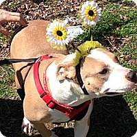 Adopt A Pet :: Honey *Sweet As Daisies* - Kittery, ME