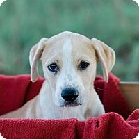Adopt A Pet :: Hampton $250 - Seneca, SC