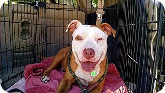 American Staffordshire Terrier Mix Dog for adoption in Jacksonville, Florida - Zoey