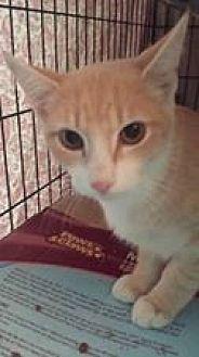 Domestic Shorthair Kitten for adoption in Clarkson, Kentucky - Mills
