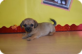 Pug Mix Puppy for adoption in North Judson, Indiana - Charolette