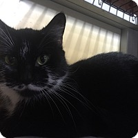 Domestic Mediumhair Cat for adoption in Warren, Michigan - Tia (bonded w/Elle)