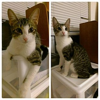 Domestic Shorthair Kitten for adoption in Wichita Falls, Texas - Skittles