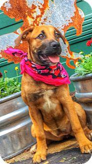 Labrador Retriever/Shepherd (Unknown Type) Mix Dog for adoption in Conway, Arkansas - Fawn