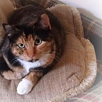 Calico Cat for adoption in Lambertville, New Jersey - Madeline