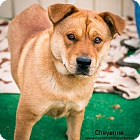 Adopt A Pet :: Cheyenne Meyer - Seattle, WA