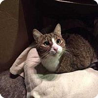 Adopt A Pet :: MikeThe Munchkin - New City, NY