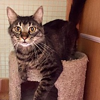 Domestic Mediumhair Cat for adoption in Napa, California - Mika